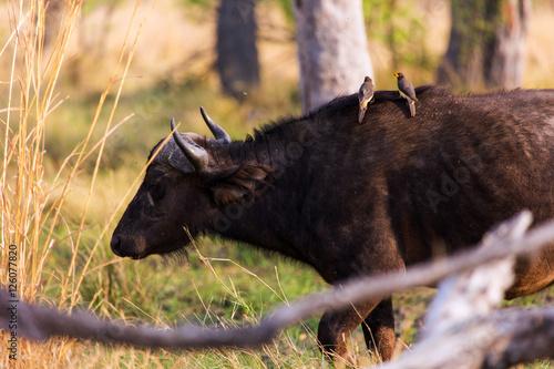 Staande foto Buffel The African buffalo or Cape buffalo