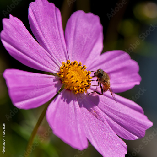 Photo blooming pink decorative flower