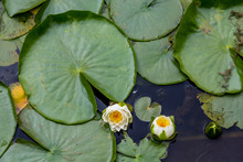 Lilys And Large Lily Pad