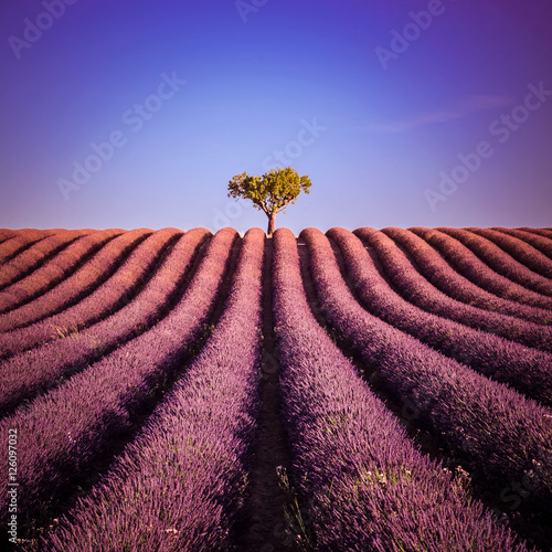 Poster Crimson Isolated tree in a lavender field in summer: landscape at Valensole in France - Provence