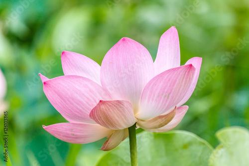 Foto op Aluminium Lotusbloem Lotus flower and Lotus flower plants