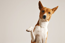 Friendly Smart Basenji Dog Giving His Paw Close Up Isolated On White