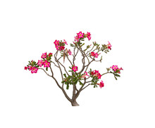 Desert Rose Isolated On White Background.