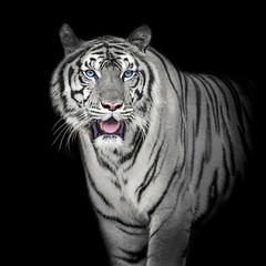 Obraz na Plexi Czarno-Biały White Tiger