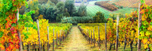 Golden Rows Of Vineyards. Autumn Landscape. Italy