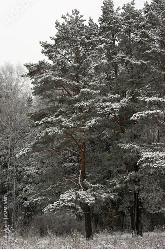Valokuva  Scotch pine