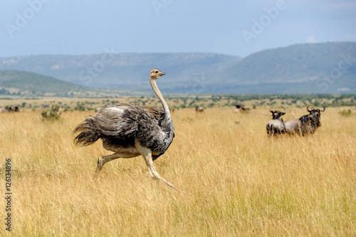 In de dag Struisvogel African ostrich (Struthio camelus)