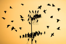 Flocks Of Birds On A Television Antenna At Sunset