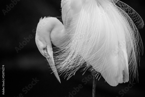 Egret in Black and White Tapéta, Fotótapéta