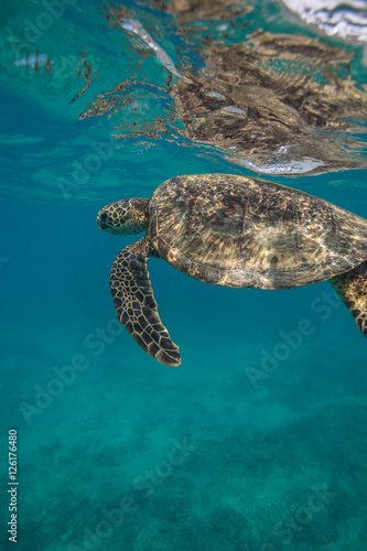 Poster Tortue Ocean Life in Maldives Waters With Turtle Corals and Fish