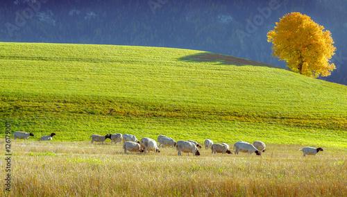 Foto op Aluminium Schapen Flock of sheep in Dolomite mountains, Italy.