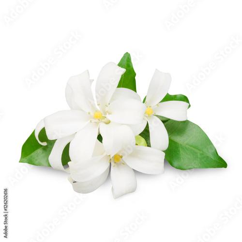 Fotografie, Obraz  Jasmine flower isolated on white