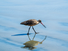Long-billed Curlew. Numenius A...