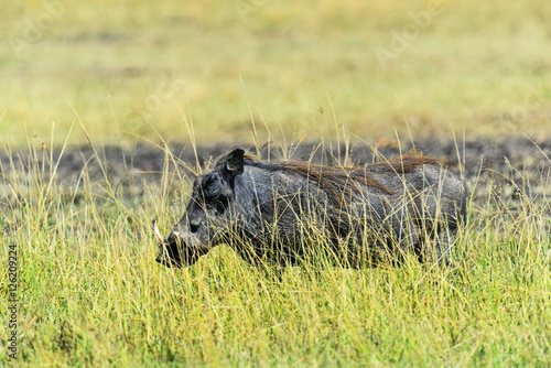 Photo  Wild boar in the savannah