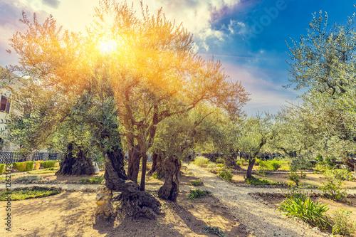 Fototapeta premium Ogród Oliwny Getsemani, położony u podnóża ul