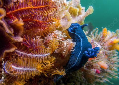 Black Nudibranch on soft coral