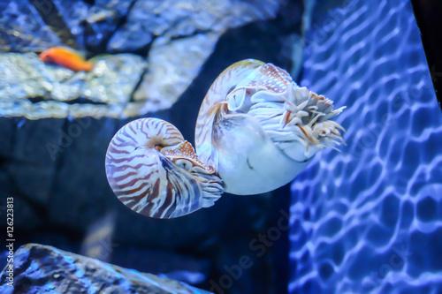 Valokuva  Saltwater twin Nautilidae inside aquarium, selective focus
