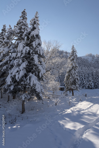 Fotobehang Snow covered larch and fir trees in the highlands. The snow spar