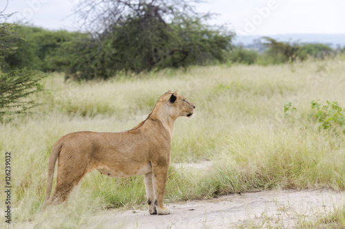 Fotografie, Obraz  Lovely lioness gracefully standing and closely followed the savanna in a Tarangi