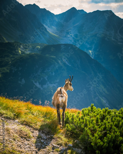 Beautiful chamois mountain goat in natural habitat
