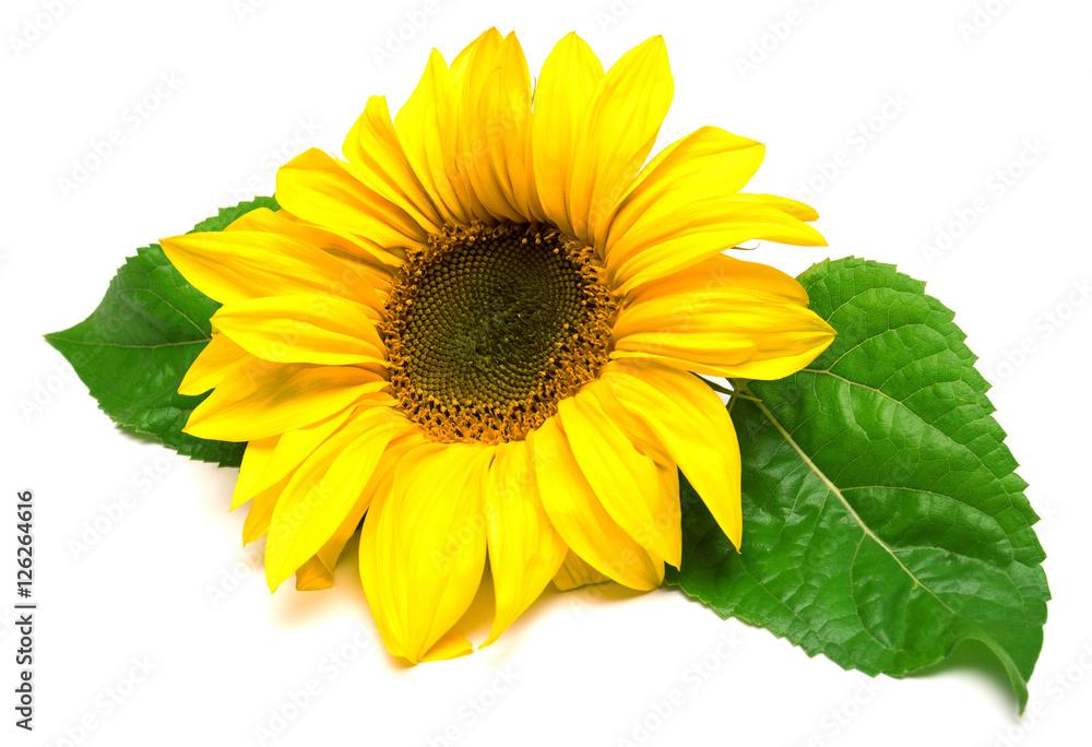 Flower of sunflower isolated on white background.