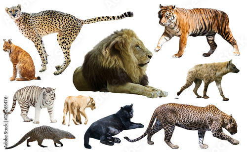 Poster Hyène Set of wild mammals isolated over white