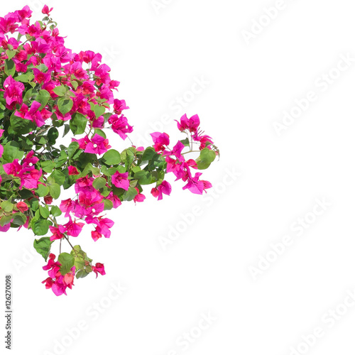 Fotografía Pink bougainvilleas on white background isolated.