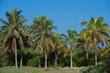 Königspalme auf Kuba