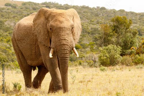 Foto op Aluminium Olifant Elephant walking proudly in the field