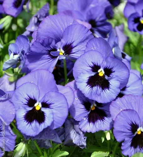 Pansies Violet Pansy