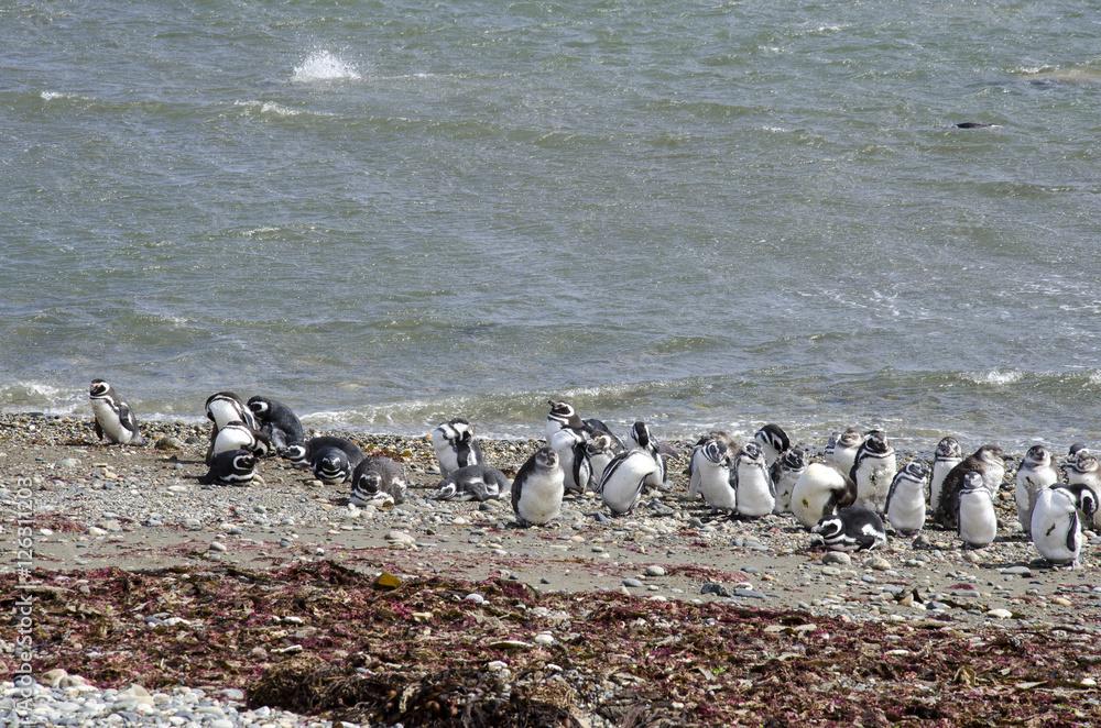 Punta Arenas - Penguin Colony