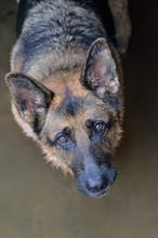 Closeup Portrait Of German She...