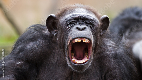 portrait of a chimpanzee yelling Wallpaper Mural
