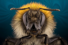 Extra Sharp Portrait Of Bumblebee Through A Microscope.