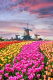 Fototapeta Tulipany - Landscape with tulips in Zaanse Schans, Netherlands, Europe