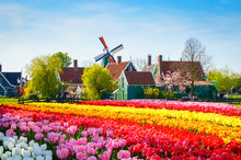Landscape With Tulips In Zaans...