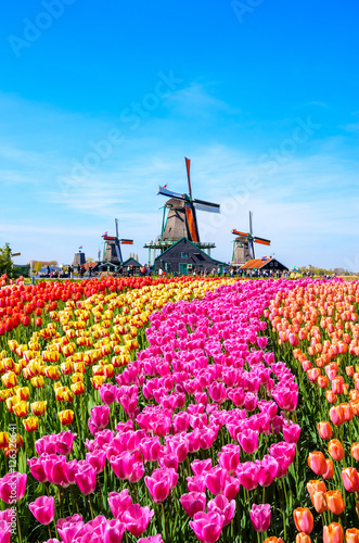 Fotografie, Obraz Landscape with tulips in Zaanse Schans, Netherlands, Europe