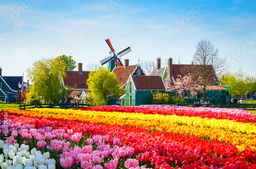 Poster Amsterdam Landscape with tulips in Zaanse Schans, Netherlands, Europe
