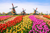 Fototapeta Tulipany - Landscape with tulips in Zaanse Schans, Netherlands, Europe