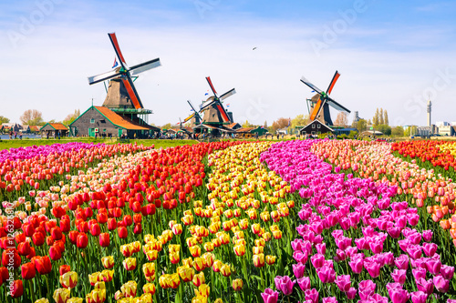 Obraz Landscape with tulips in Zaanse Schans, Netherlands, Europe - fototapety do salonu