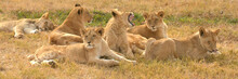 Lions Resting In The Late Afte...