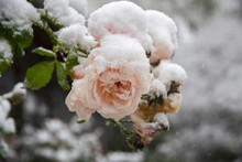 Last Pink Roses Full Of Snow, Frozen In The Winter Garden