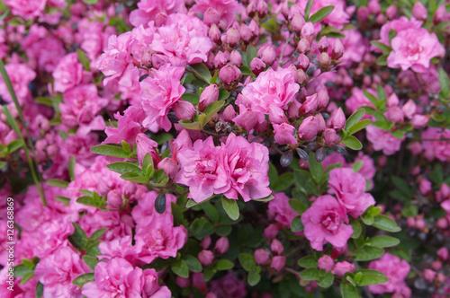 Plakat kwiaty różowa azalia (rododendron), lokalna ostrość, płytkie DOF