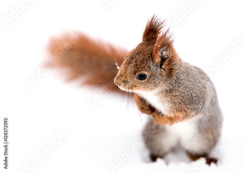 curious little squirrel standing on white snow and looking to the left