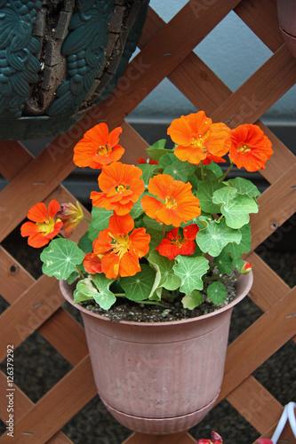 Valokuva  Pot de capucine orange en été