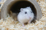 Fototapeta Zwierzęta - Chomik
