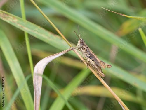 Poster Nature Grasshopper, Chorthippus apricarius