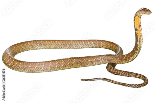 King Cobra Ophiophagus hannah, isolated on white background Poster
