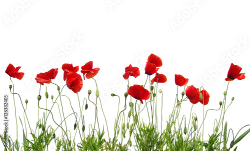 Canvas Prints Poppy red poppies on white