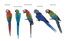 Set Of Macaw Bird,Scarlet Maca...